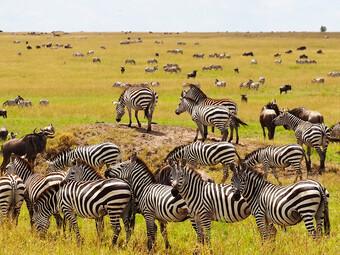 Reisebericht Kenia - Tierherden in der Masai Mara