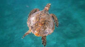 Malediven Reiseberichte: Schildkröte in der Unterwasserwelt der Malediven