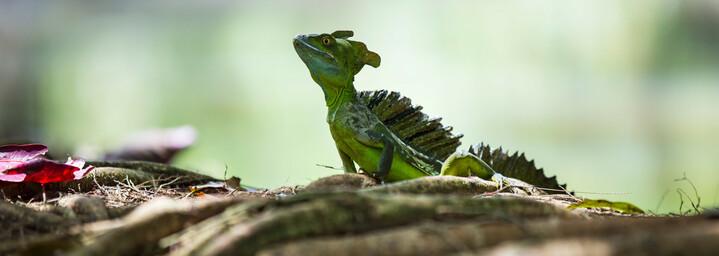Tortuguero Jungle Lizard Costa Rica