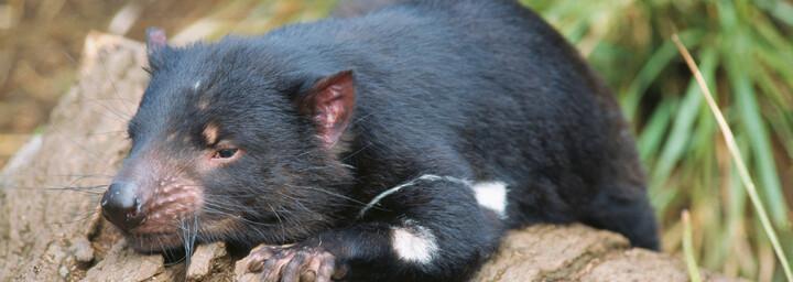 Der Tasmanische Teufel beim Ausruhen