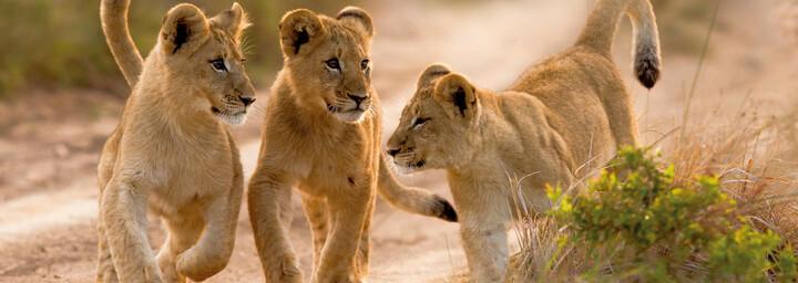 Löwenkinder