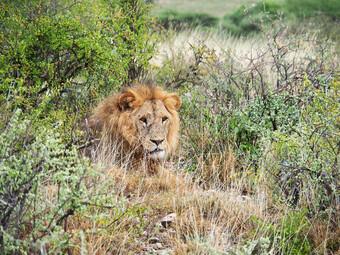 Kenia Reisebericht - Löwe im Samburu National Reserve
