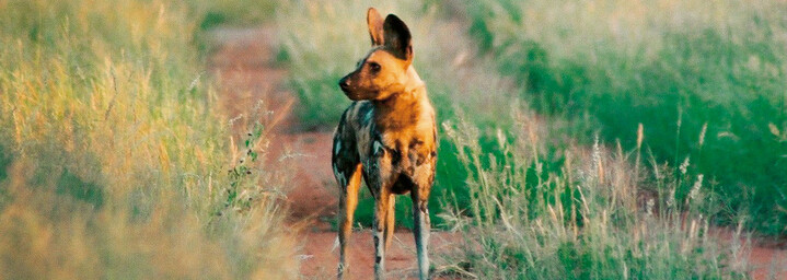 Wildhund im Madikwe Game Reserve, Südafrika