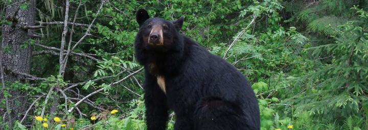 Bär im Wells Gray Provinvial Park