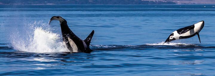Orcas Vancouver Island