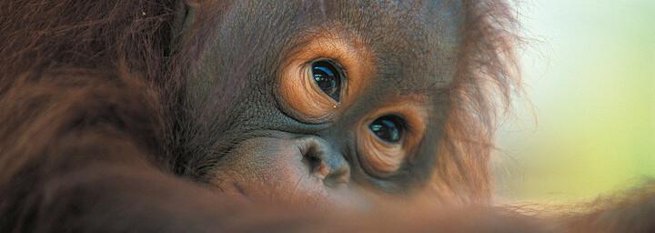 Orang Utan auf der Insel Borneo