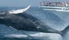 Walbeobachtung Cape Cod