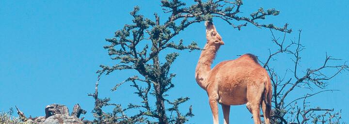 Kamel am Weihrauchpfad