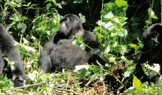 Masai Mara & Gorillas