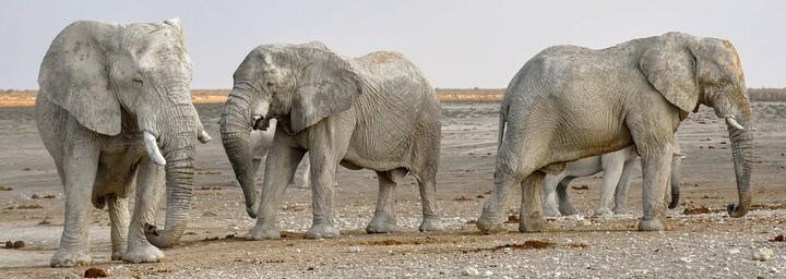 Namibia - Wüsten-Elefanten