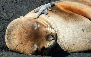 Galápagos Reisebericht - Schlafender Seelöwe