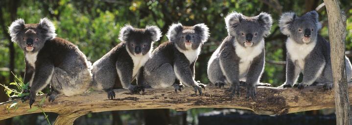 Koalas auf Baumstamm Queensland