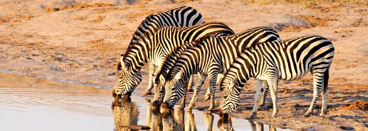 Zebras an einem Wasserloch im Hwange Nationalpark