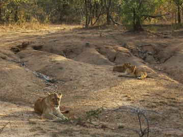 Reisebericht Südafrika - Löwen im Kapama Private Game Reserve
