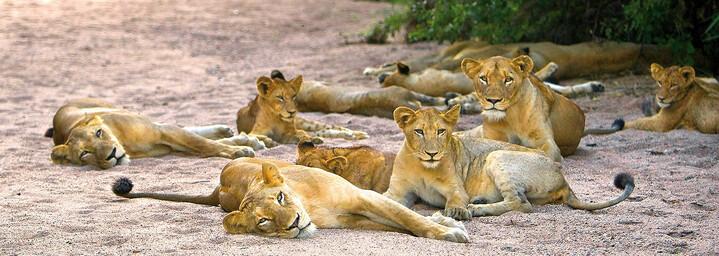 Löwinnen beim Ausruhen