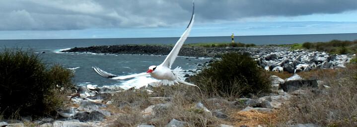 Ecuador und Galápagos Reisebericht - Rotschnabel-Tropikvogel
