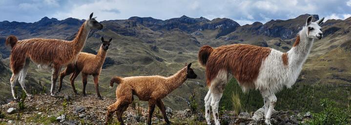 Lamas im Cajas Nationalpark