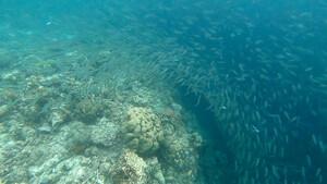 Cebu Moalboal Schnorcheln mit Sardinen