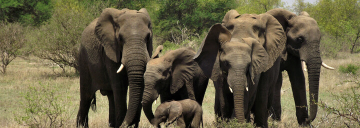 Elefanten in feier Wildbahn in Südafrika