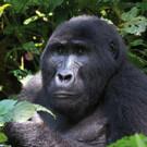 Gorillatrekking in Uganda