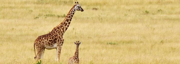 Kenia Reisebericht - Giraffen in der Masai Mara
