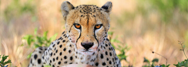 Gepard im Krüger Nationalpark