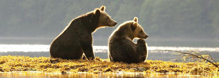 Bären Spirit Bear Lodge