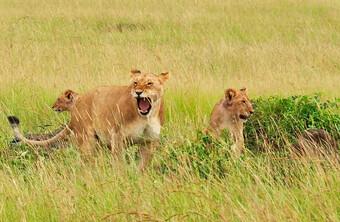Kenia Reisebericht - Löwen in der Masai Mara