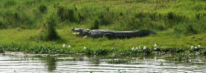 Krokodil - Chitwan Nationalpark
