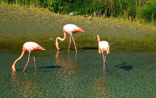 Galápagos Reisebericht - Flamingos auf Isabela