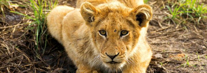 Löwe am Wasser Krüger Nationalpark