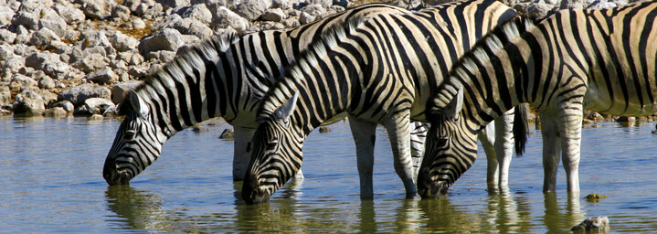 Zebraherde am Wasserloch im Etosha Nationalpark