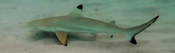 Reisebericht Thailand: Schwarzspitzen Riffhai in der Shark Bay auf Koh Tao