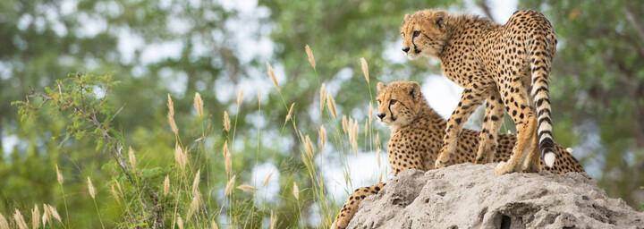 Geparden im Sabi Sands Game Reserve