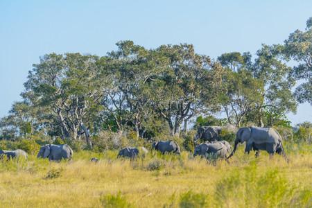 Okavango Delta Safari - Elefantenherde im Okavango Delta