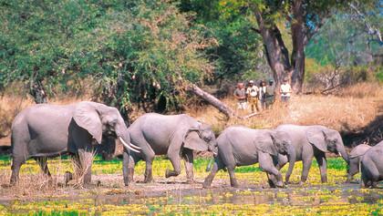 Elefantenherde Sambia