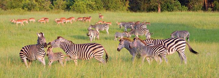 Zebras und Antilopen auf Grasfläche