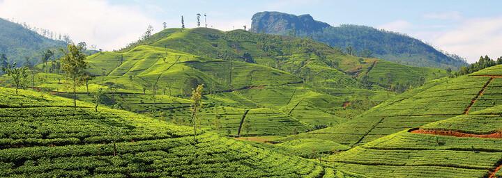 Teeplantage Sri Lanka