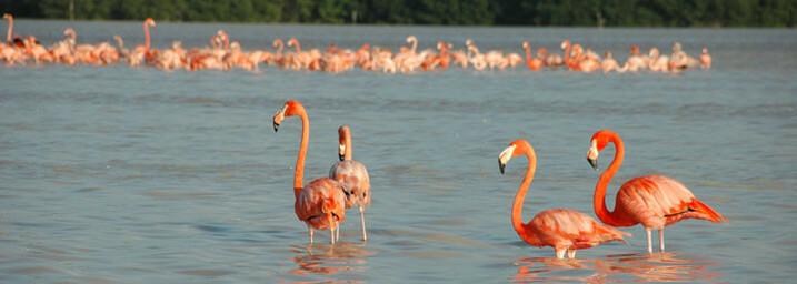 Flamingos Celestún Mexiko