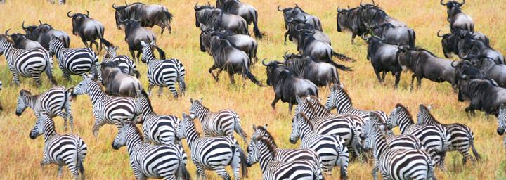 Gemischte Zebra- und Büffelherde