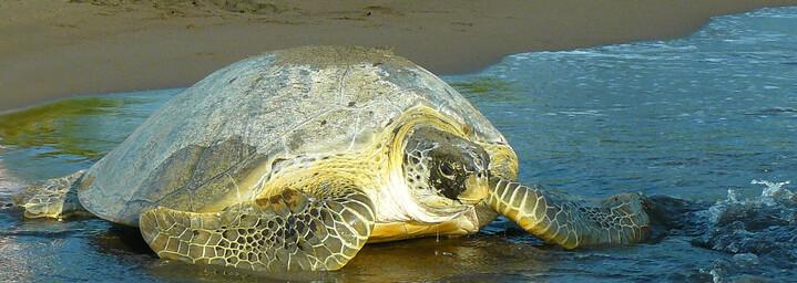 Meeresschildkröte am Strand von Tortuguero