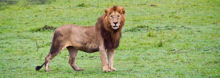 Kenia Reisebericht - Löwe in der Masai Mara
