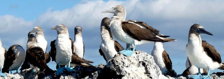 Ecuador und Galápagos Reisebericht - Blaufußtölpel