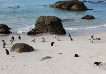 Reisebericht Südafrika - Pinguine am Boulder's Beach