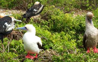 Galápagos Reisebericht - Rotfußtölpel auf Genovesa