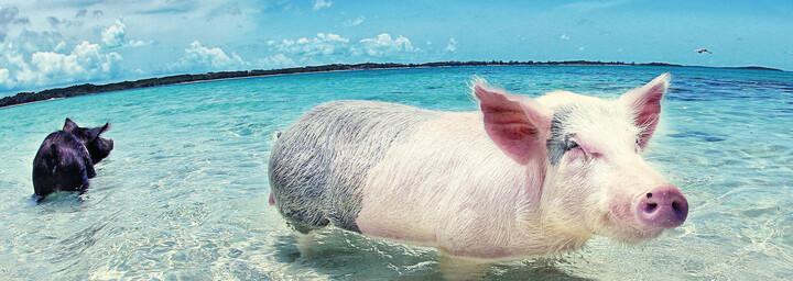 Schwimmende Schweine