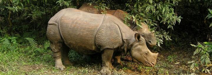 Panzernashorn - Chitwan Nationalpark