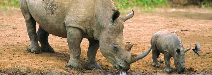 Nashörner Hluhluwe Wildreservat