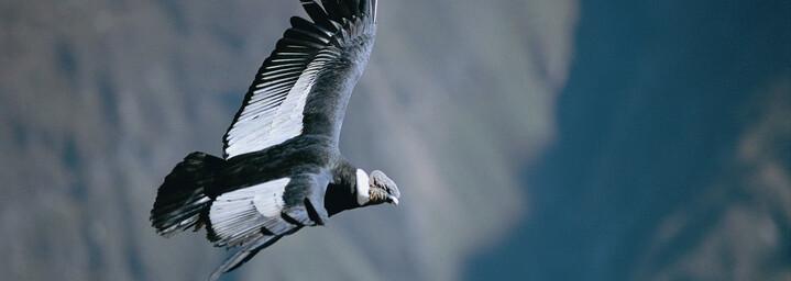 Anden-Kondor im Colca Canyon