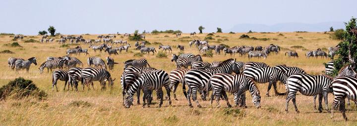 Zebras im Masai Mara National Reserve